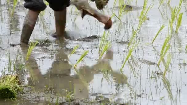 Farmář pracuje rostlin rýže ve farmě Thajsko jihovýchodní Asie