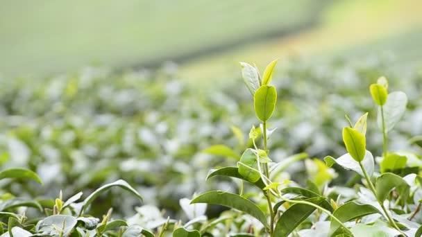terreno agricolo di tè verde della Tailandia