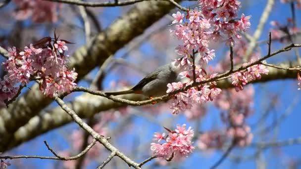 roztomilý ptáček jíst nektar z třešňového květu stromu