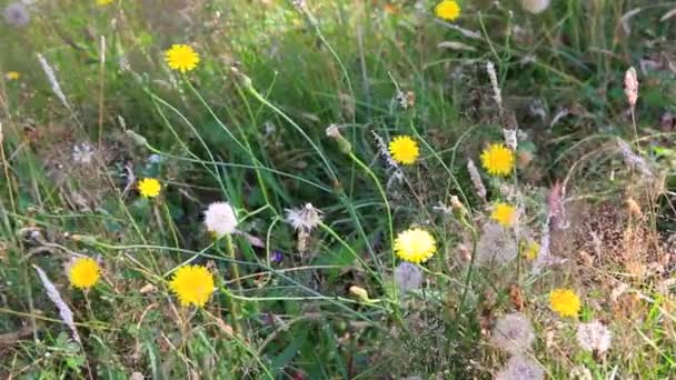 Dandelions and wild grasses