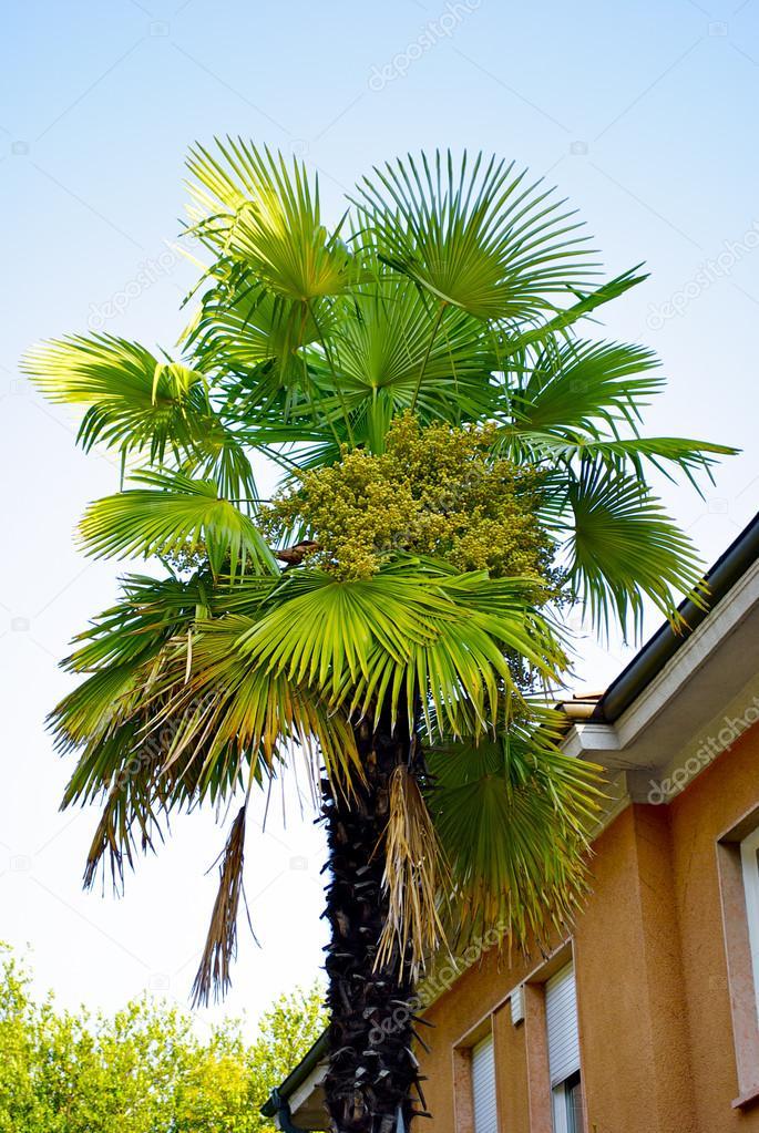 Palm near the house