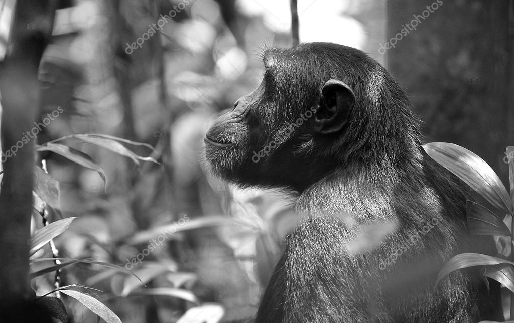 Back of the gorilla in black and white