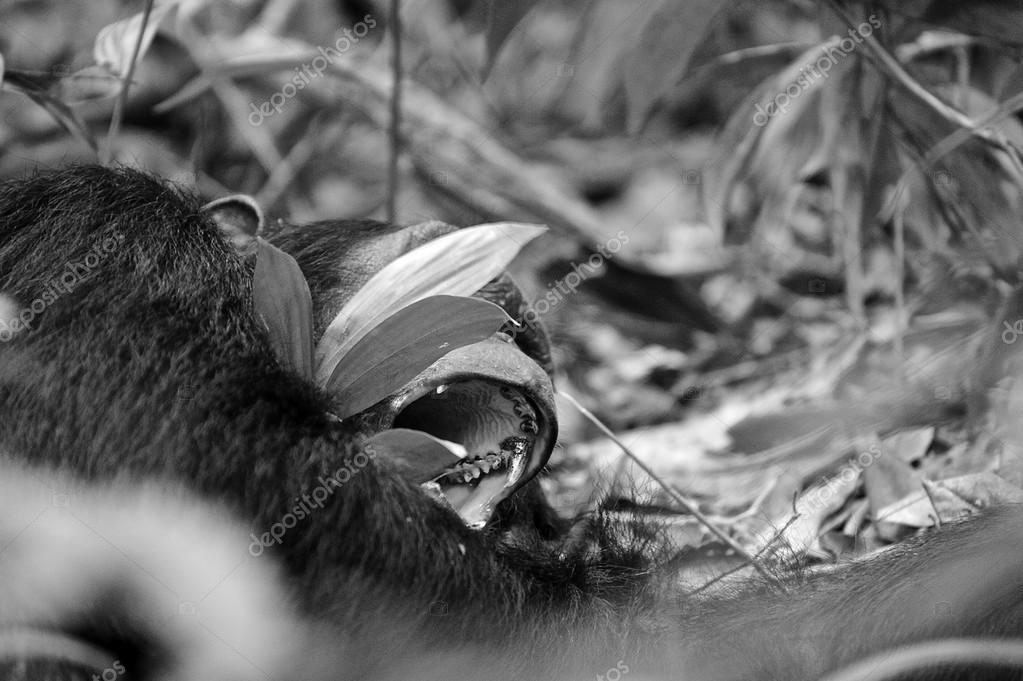 Gorilla open the mouth in black and white
