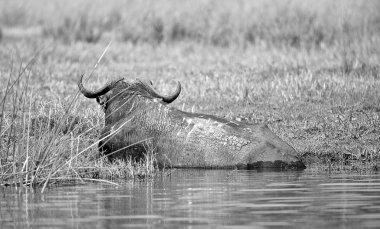 Buffalo swims in the river