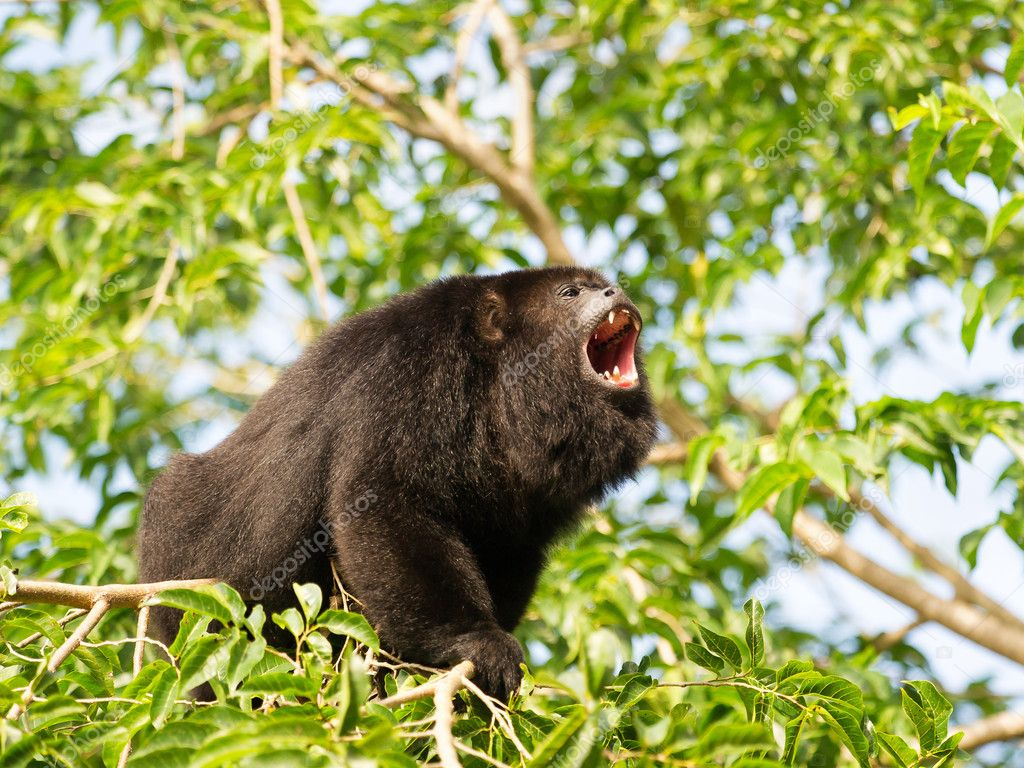 Howler monkey on the tree