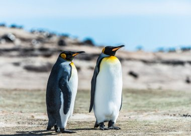 Two KIng penguins over the coast.