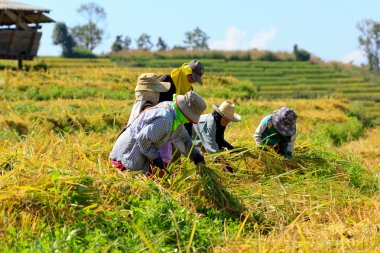 Farmers were harvesting rice by hand in Thailand.