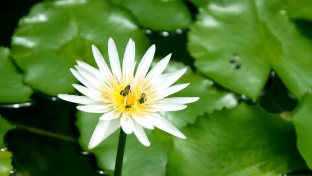 Bílý lotos a včela