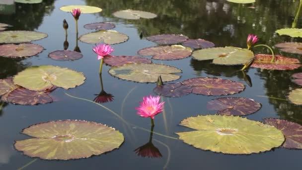 kvetoucí růžový leknín v rybníku