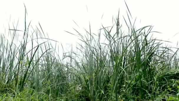 Prairie Grass Blows in the Wind