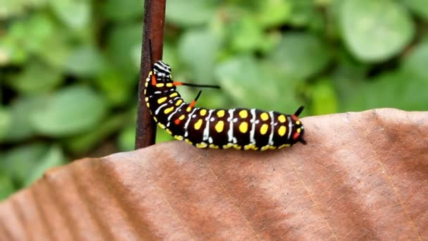Caterpillar hegymászó levél áthelyezése