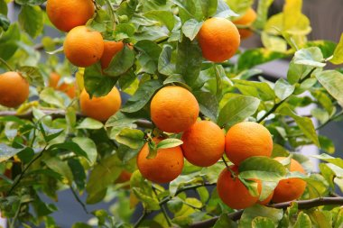 Orange tree with fruits