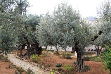Very old olives in Gethsemane garden