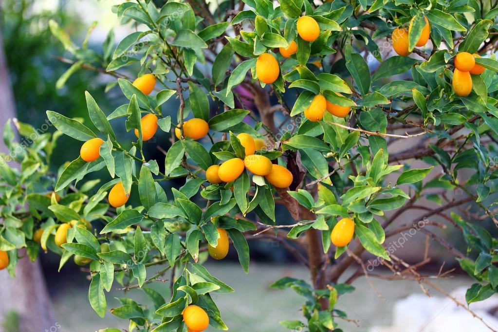 rbol de kumquat fotos de stock flik47 40139789