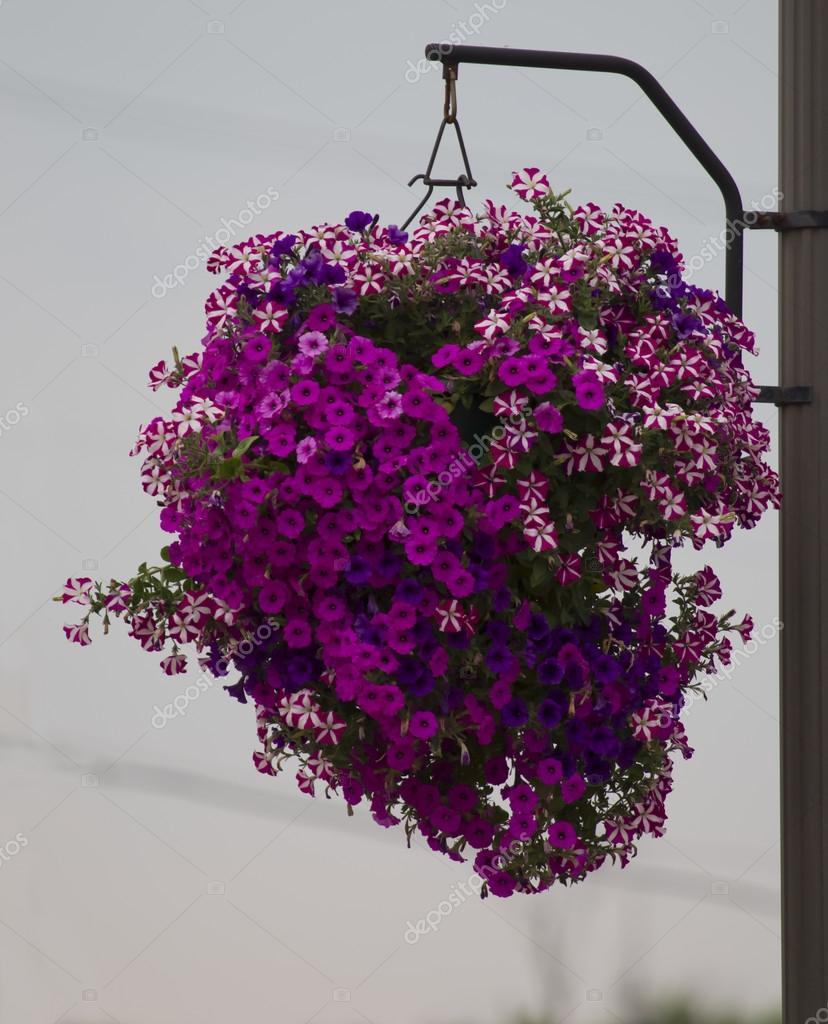 Hanging Basket Of Purple Flowers Stock Photo Mybaitshop 12558032
