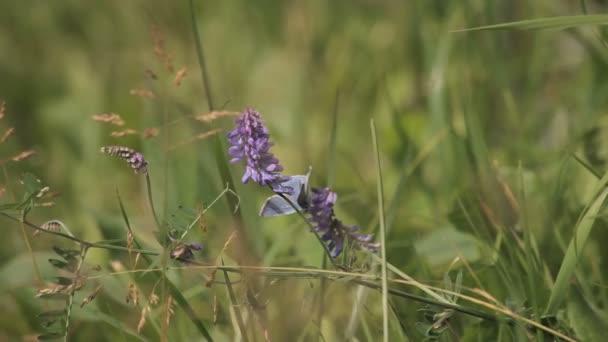 Lila pillangó a virág mező