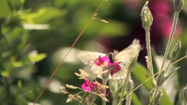 Butterflies on a pink flower
