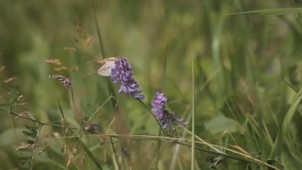 Pillangó a a lila virág mező
