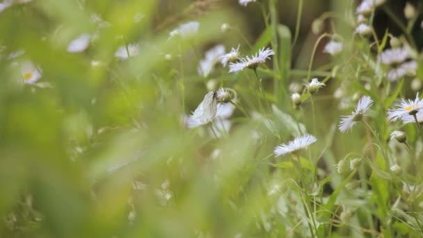 motýl na polních sedmikrásky