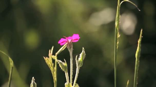 růžový květ v louce