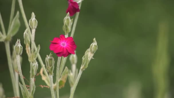 růžový květ pole
