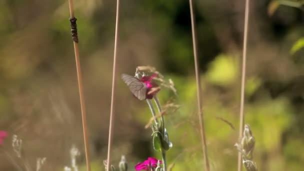 pole motýl na růžové květy