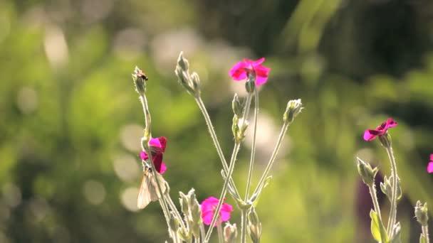 motýl na růžové květy