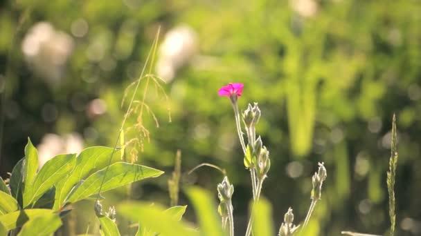malý růžový květ v louce