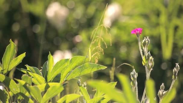 osamělý růžový květ v louce