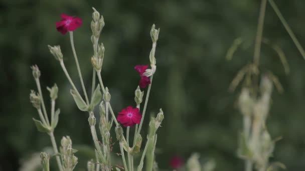 růžové květy pole
