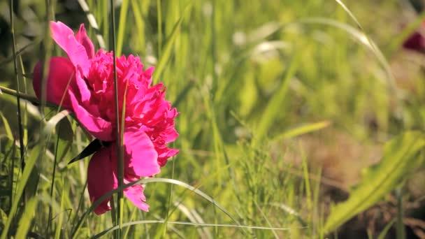 světle růžová Pivoňka v trávě