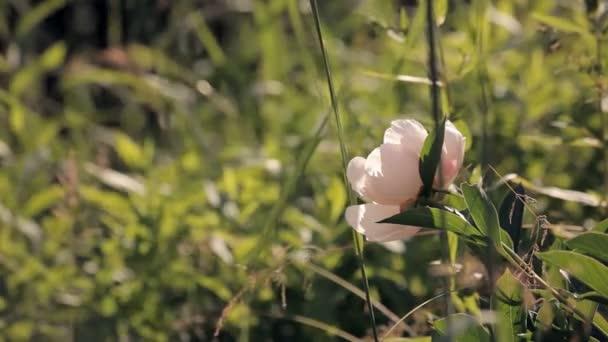 bílá Pivoňka v trávě při západu slunce