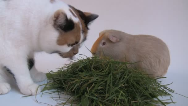 Cat and guinea pig eating grass