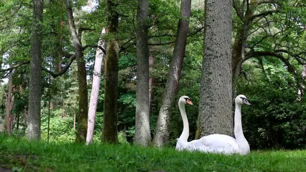 Legrační pohled na labutí pár