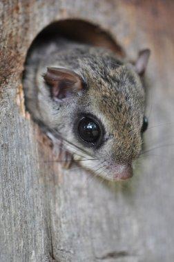 Eastern Flying Squirrel