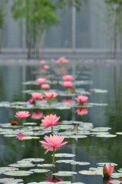 Water Lily Garden