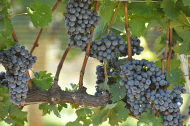 Bees on Wine Grapes