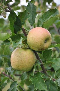 Organic Apple Orchard