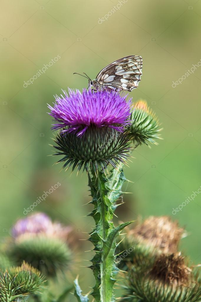 Marbled white butterfly on a thistle flower