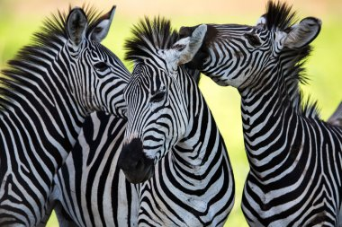 Zebras socialising and kissing
