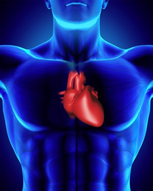 Anatomically correct human heart, torso with clipping path