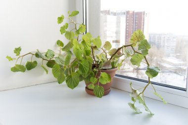 Potted flowers on the windowsill in a pot. Begonia Semperflorens