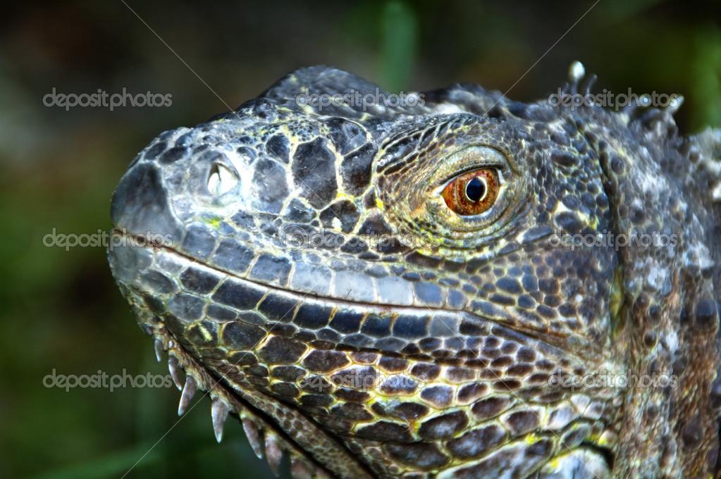 Closeup portrait of iguana