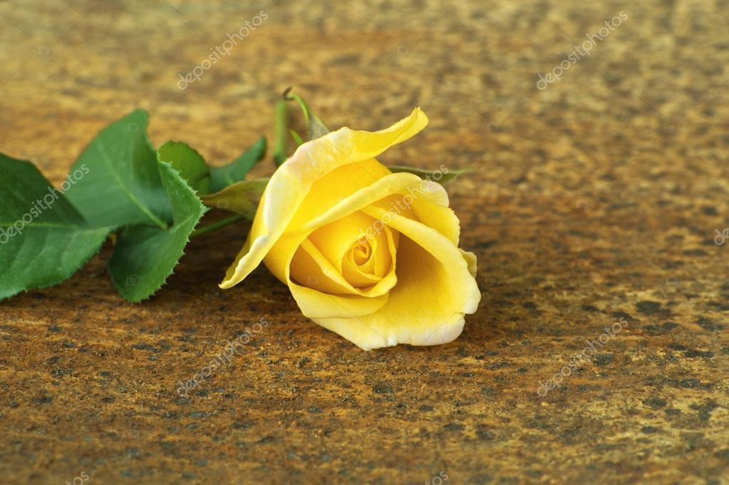 Yellow rose flower.