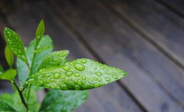 Lemon leaf with rain droplets