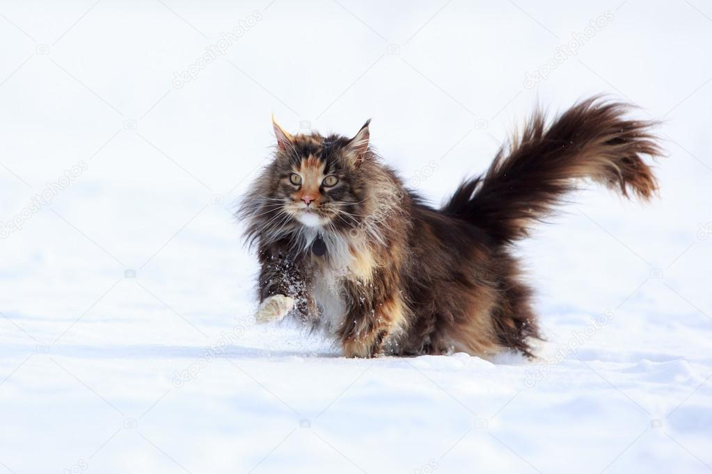 Maine Coon Show Cat Pictures