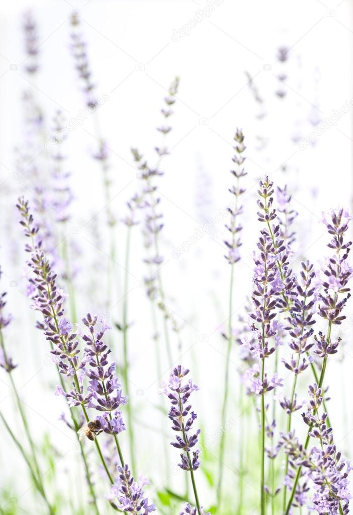 Lavender on white