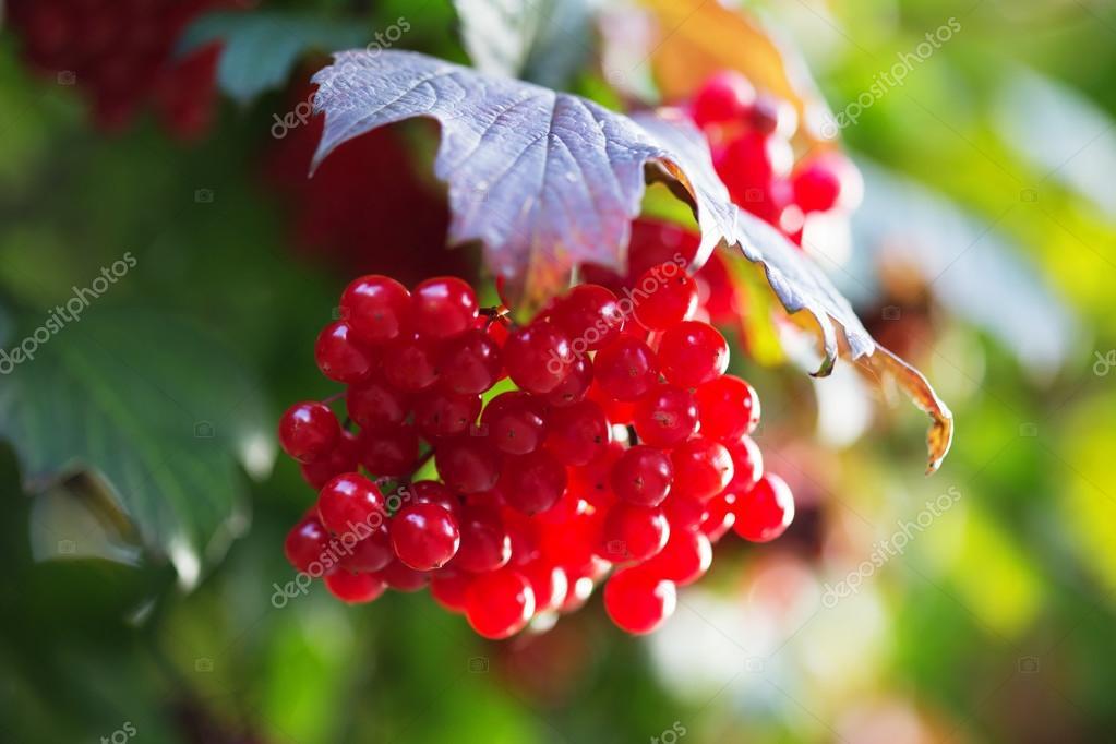Red Viburnum berries in the tree