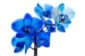 Fényképek kék orchidea elszigetelt fehér background