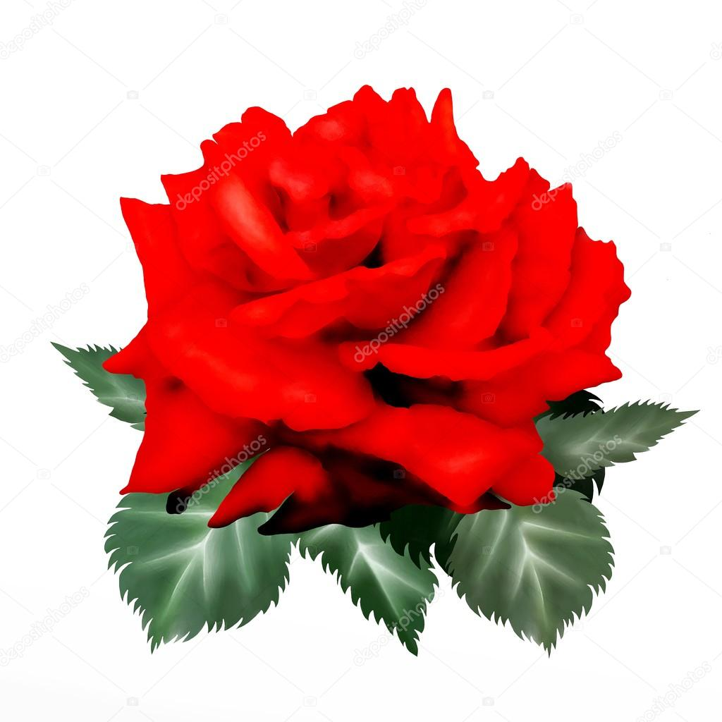 Dessin De Rose Rouge Isolé Sur Fond Blanc De La Main